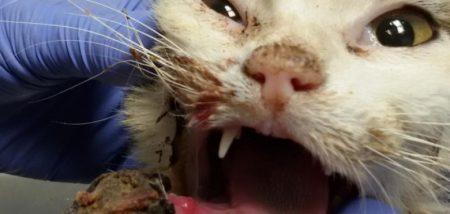 Caso clínico: Osteosarcoma mandibular felino